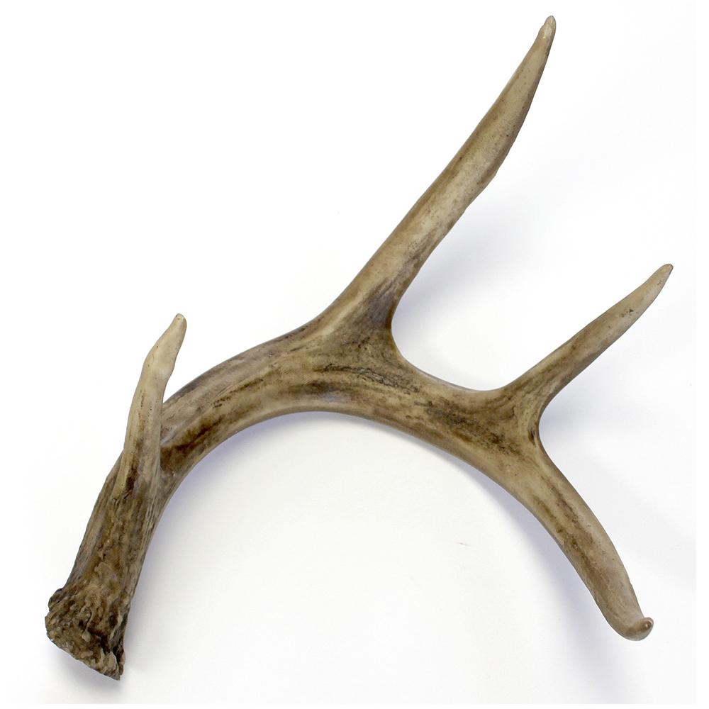 deer-antler-grey-4-point-detail.jpg